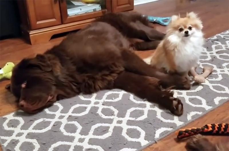 A small dog sits near a laying big dog.