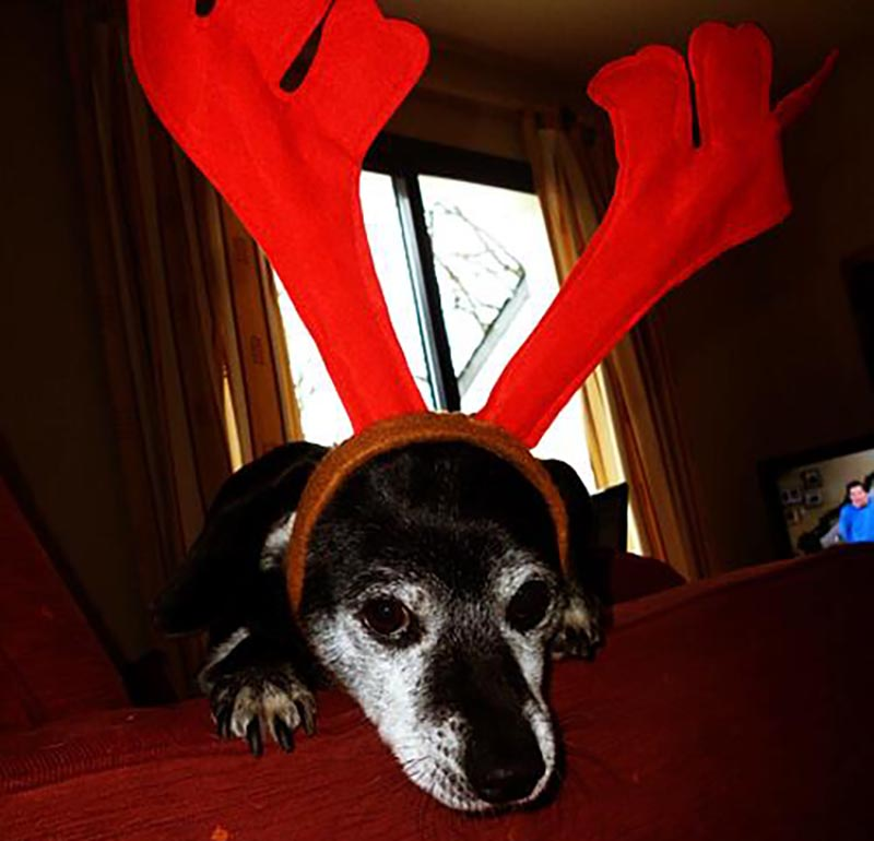A dog wears a headband with big, red antlers coming out of it.