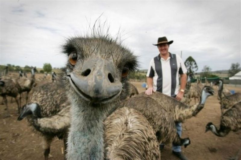 This Emu Wants All Of The Attention