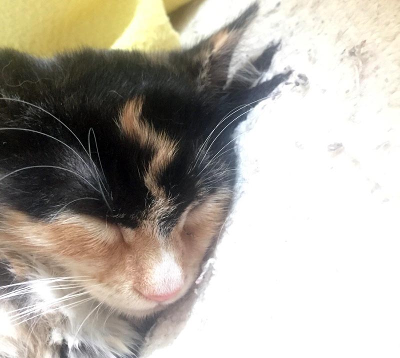 A cat with dark fur on its head has an orange squiggly line of fur that looks like a lightning bold on its forehead.