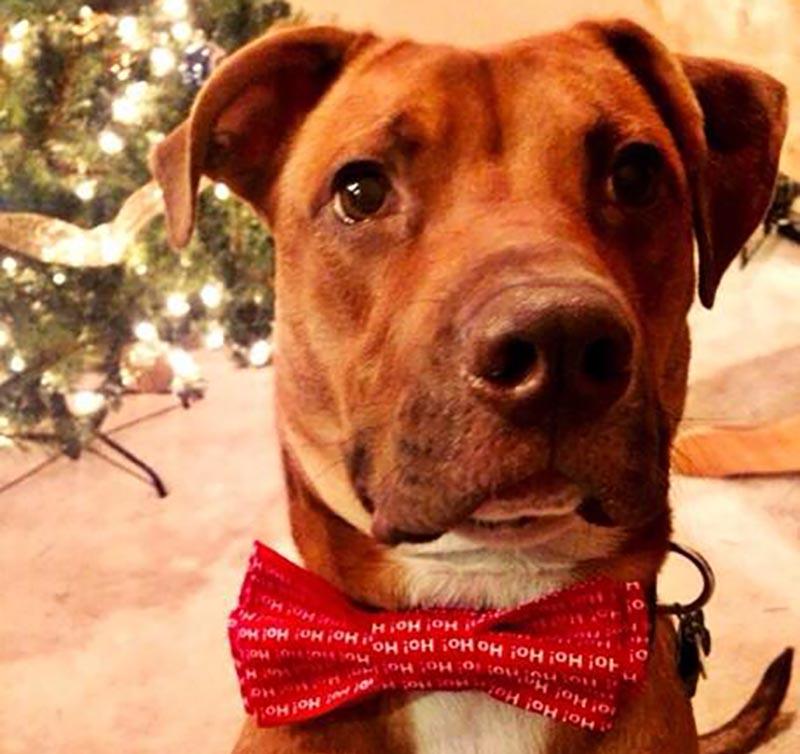 A dog wears a bowtie that reads Ho! Ho! Ho!