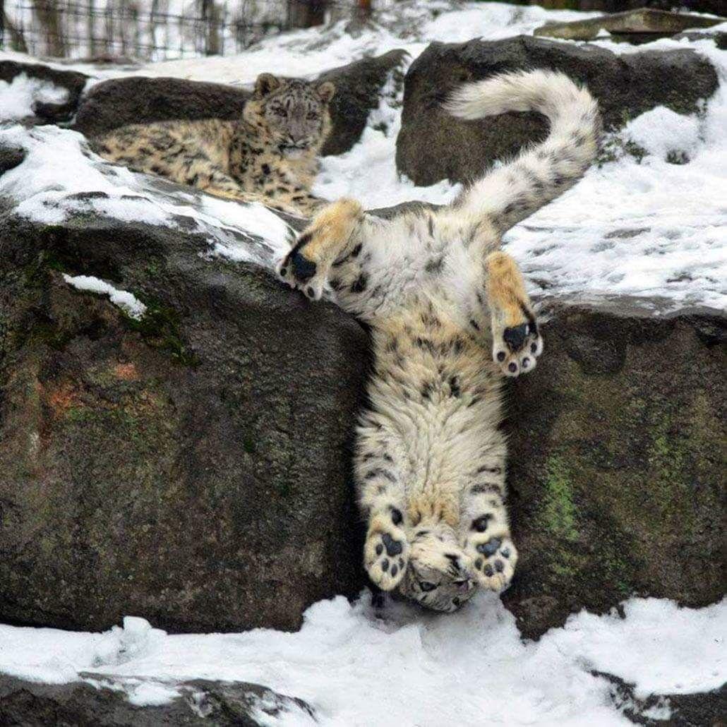 a leopard upside down