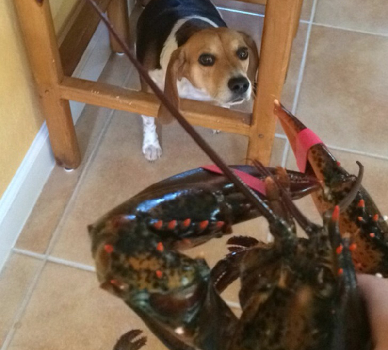 beagle-vs-lobster