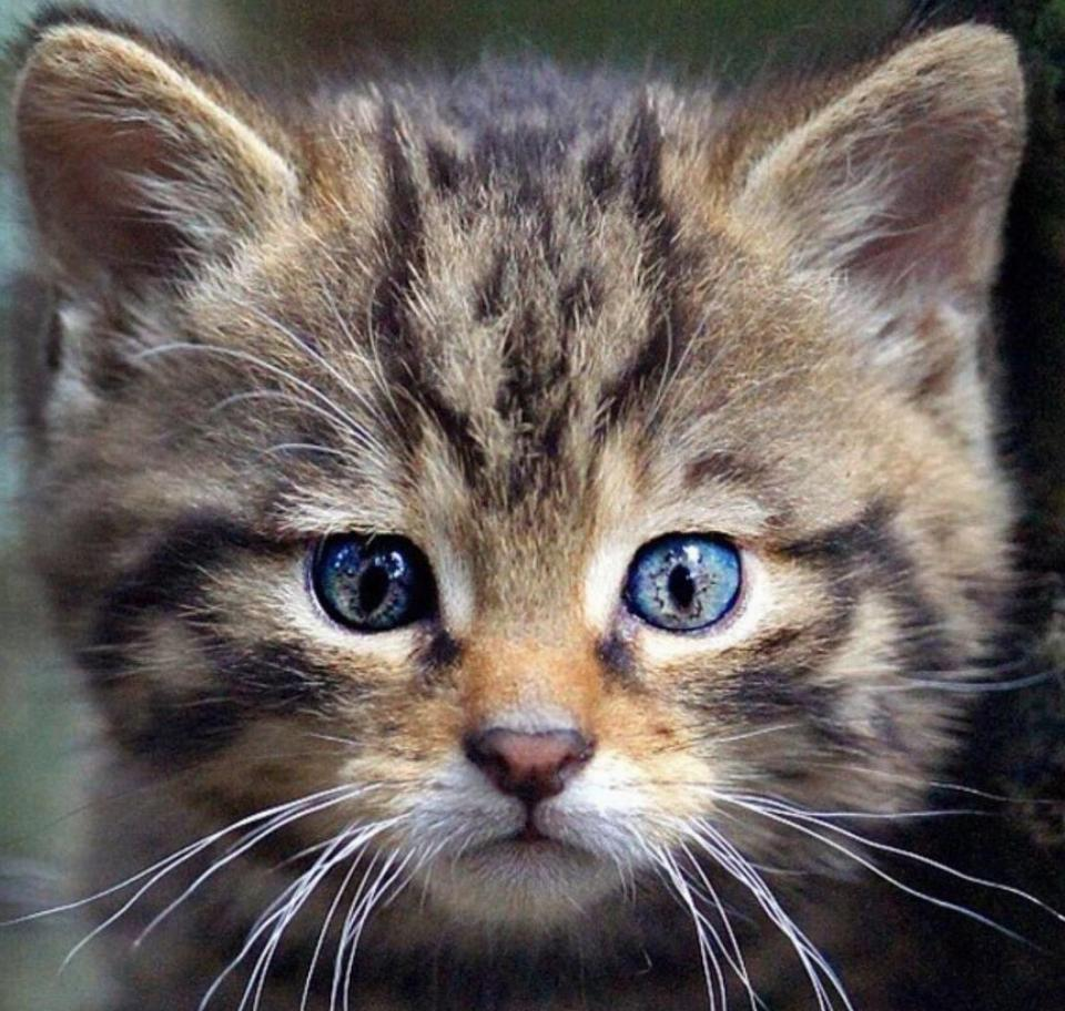 A kitten with brown, patterned fur appears to have the image of a can't face in the fur on its forehead.
