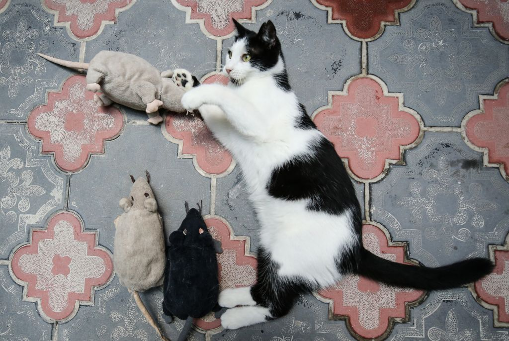 A cat is playing with mouse toys