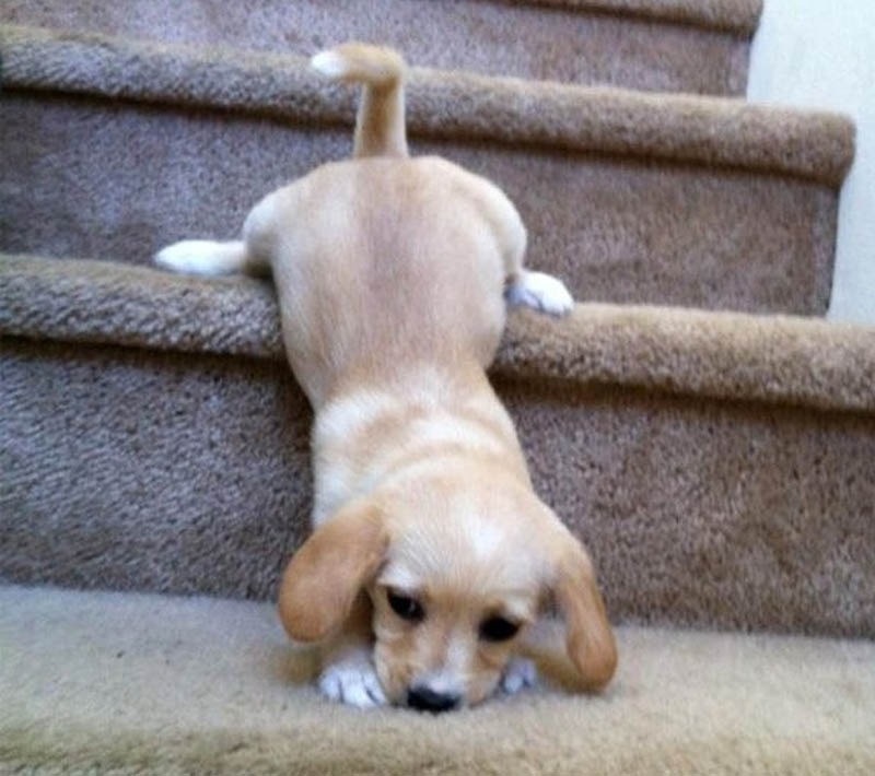 a clumsy puppy falls down the stairs