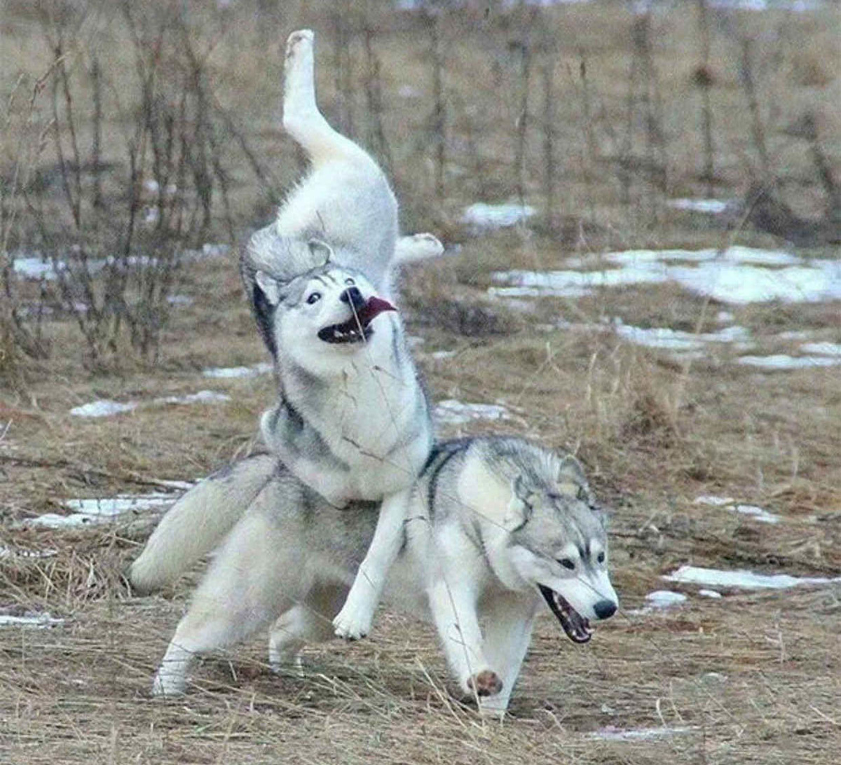 dogs tripping over each other in the woods