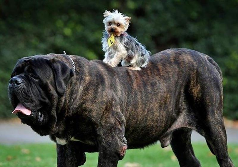 A tiny dog rides the back of a giant one.