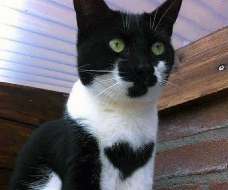 A black and white cat has a heart-shaped patch of black fur on its chest.