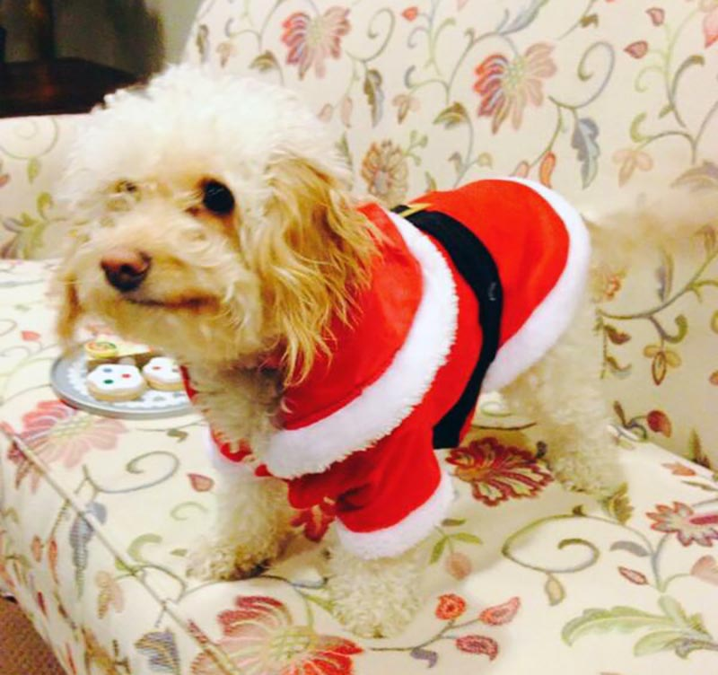 A dog wears a Santa outfit.
