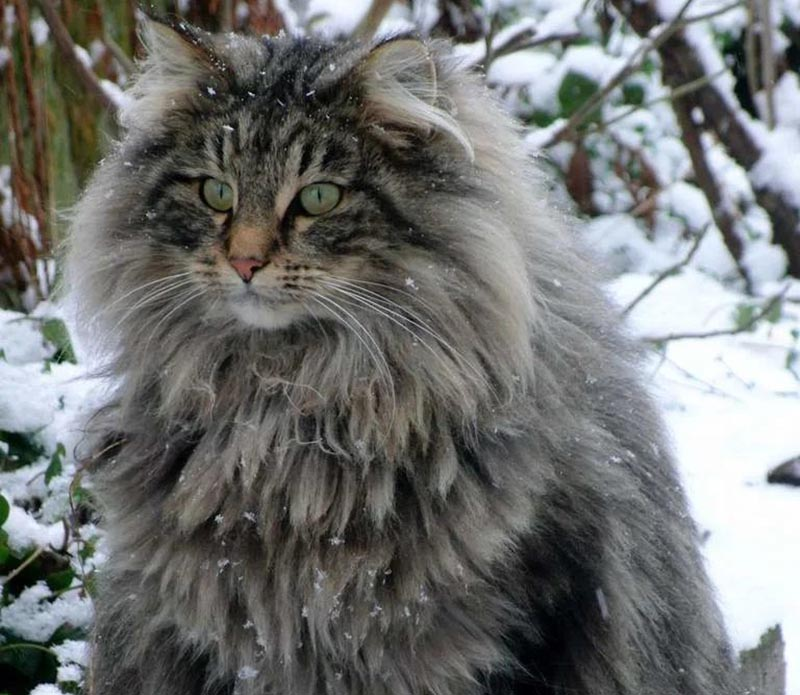 A fluffy, gray cat sits in a snowy pasture.