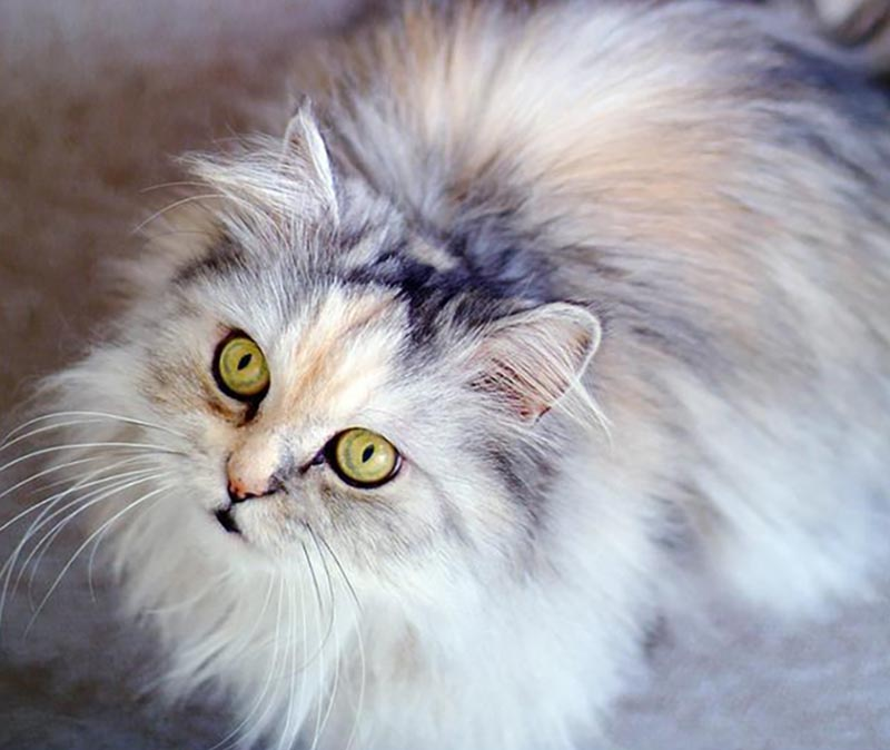 A fluffy, mult-colored cat looks up with green eyes.