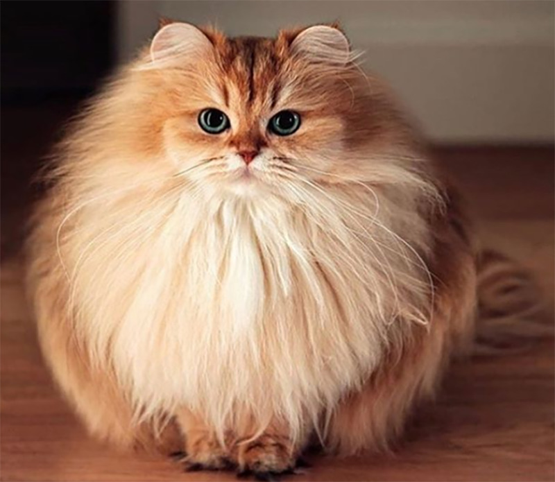 An orange kitten is so fluffy that it looks like a large ball.