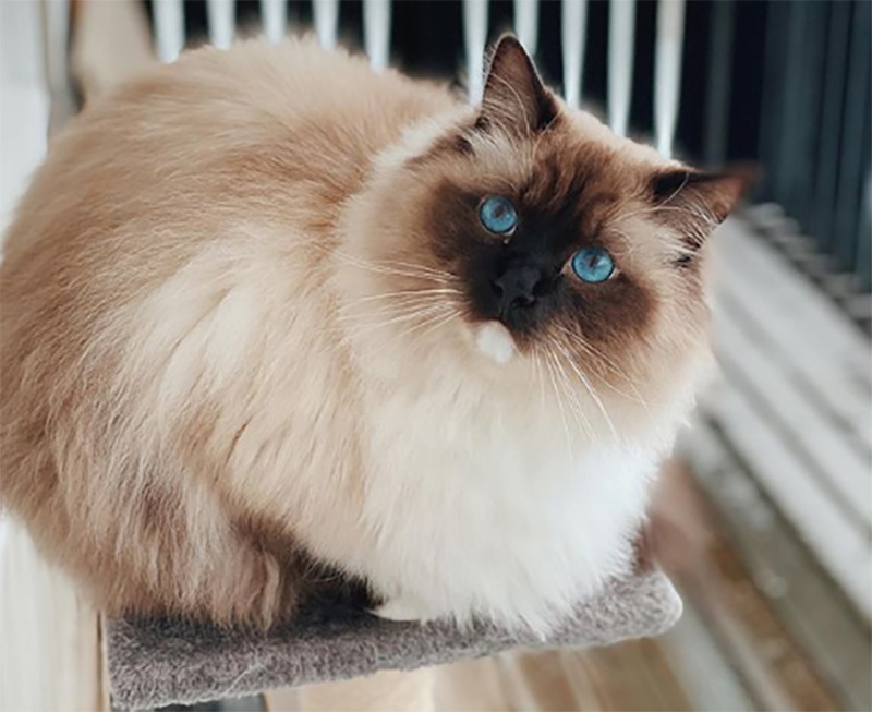 A cream-colored cat with bright blue eyes perches into a fluff ball.