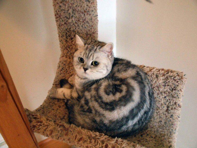A cat has black and brown fur in the shape of a cinnamon bun.