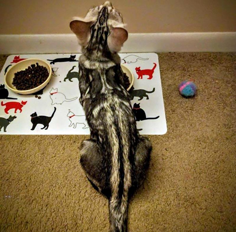 The pattern of a cat's fur appears to contain a sword running down its back and tail.