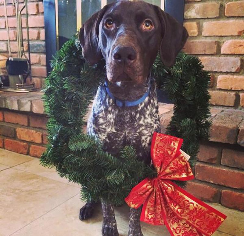 A dog wears a wreath around its neck.