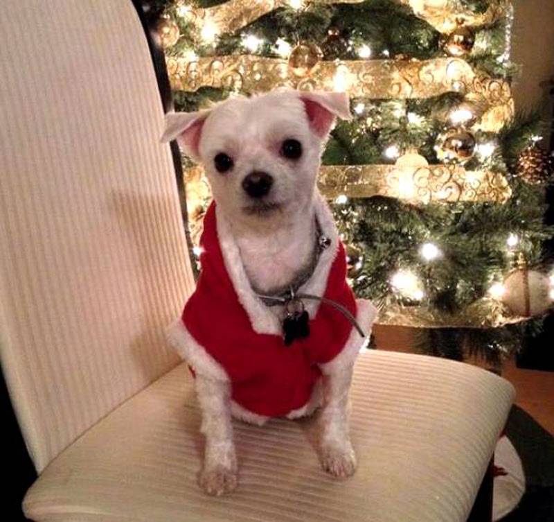A small dog wears a Santa coat.