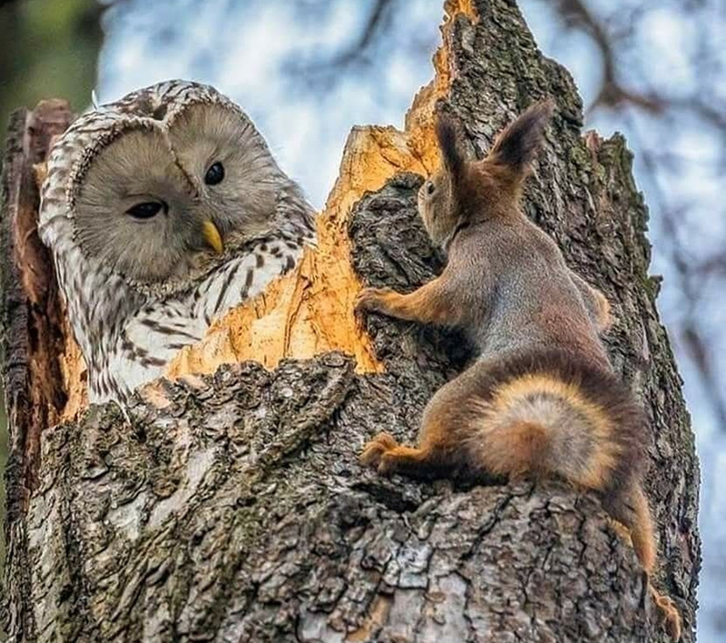 owl-squirrel-encounter