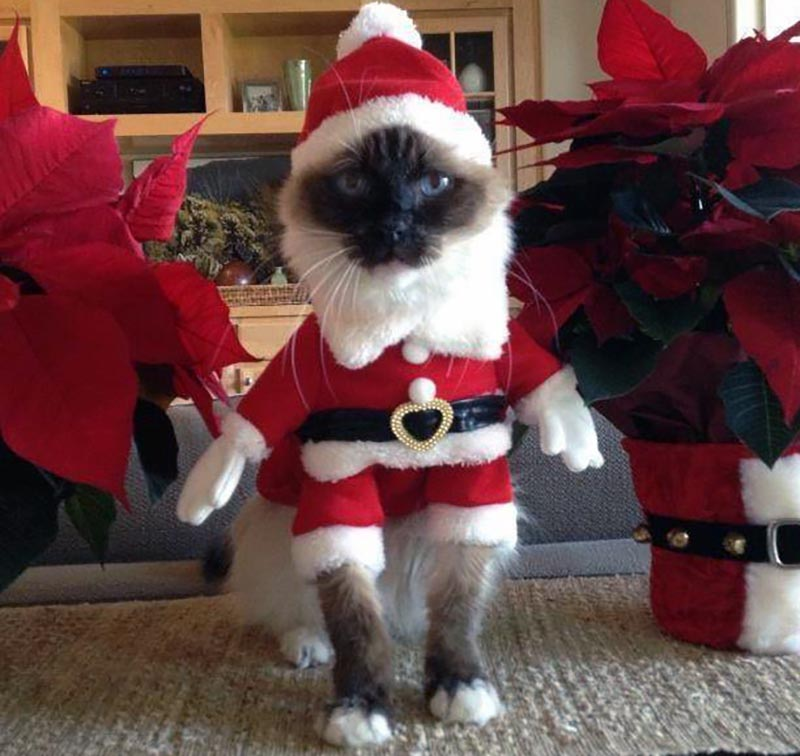 A cat is dressed up like Santa Claus.
