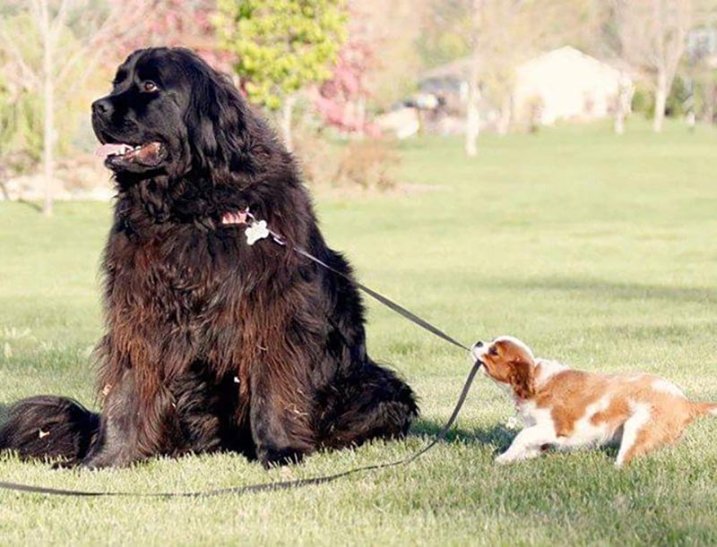 A tiny dog uses its teeth to pull on the leash of a giant dog looking the other way, unfazed.