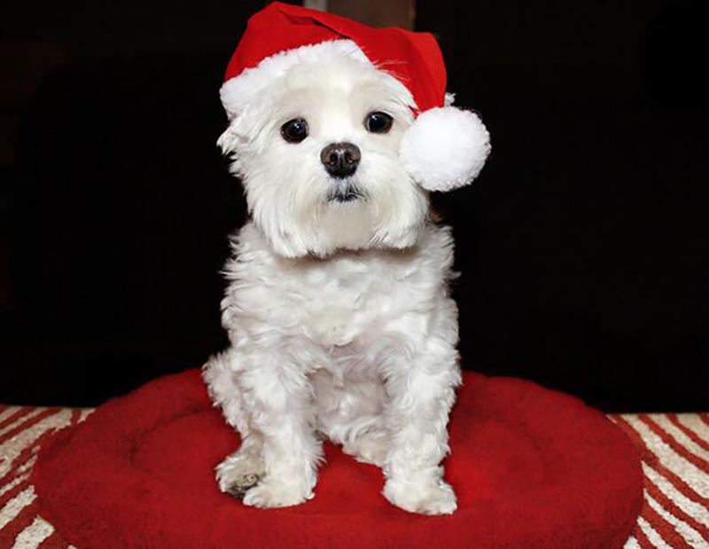 A small dog wears a santa hat.