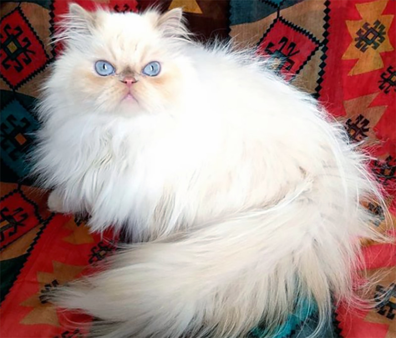 A fluffy Persian cat lounges on the couch.