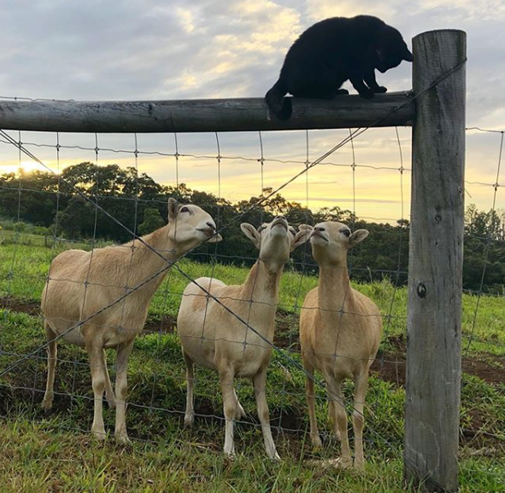 sheep-meet-a-cat