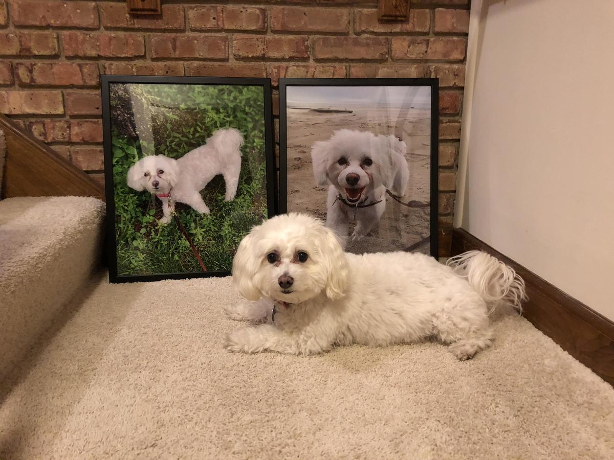A Bichon Bolognese sits near pictures of himself.