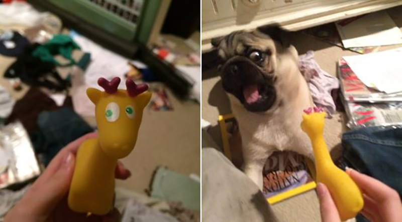 squeaky-toy-vs-pug