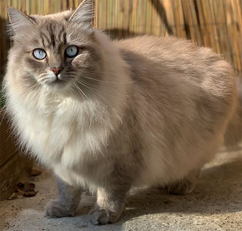 A fluffy, gray cat stands in its backyard.