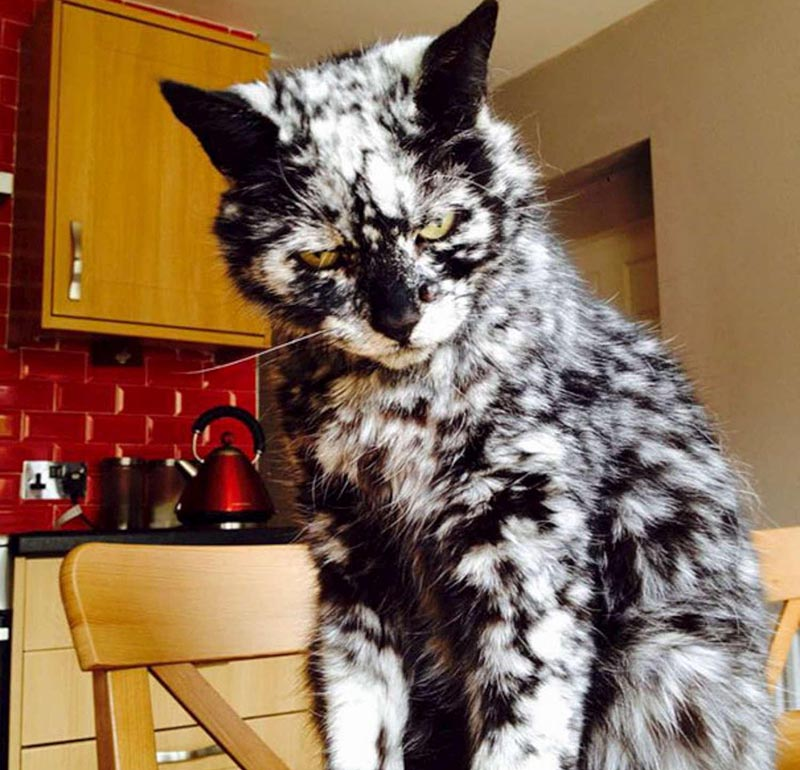 A cat with vitiligo looks like a black and white marbel.