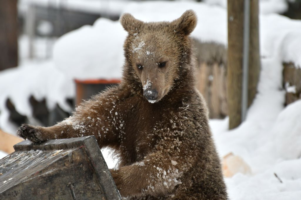 Grizzly Bears Are Beginning To Move Territories