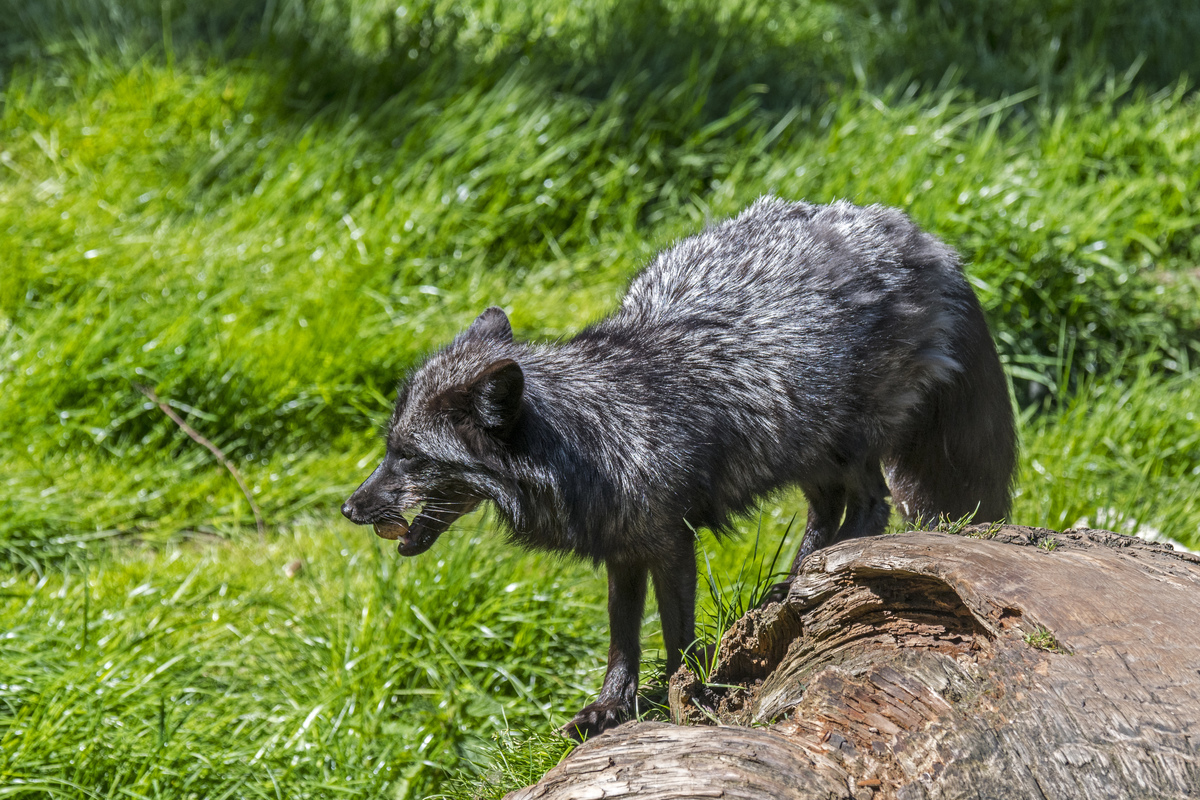 A melanistic red fox eats a nut.