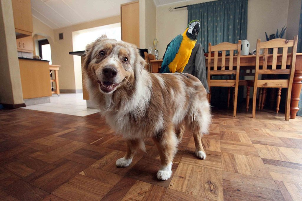 Australian Shepherds Are Velcro Dogs