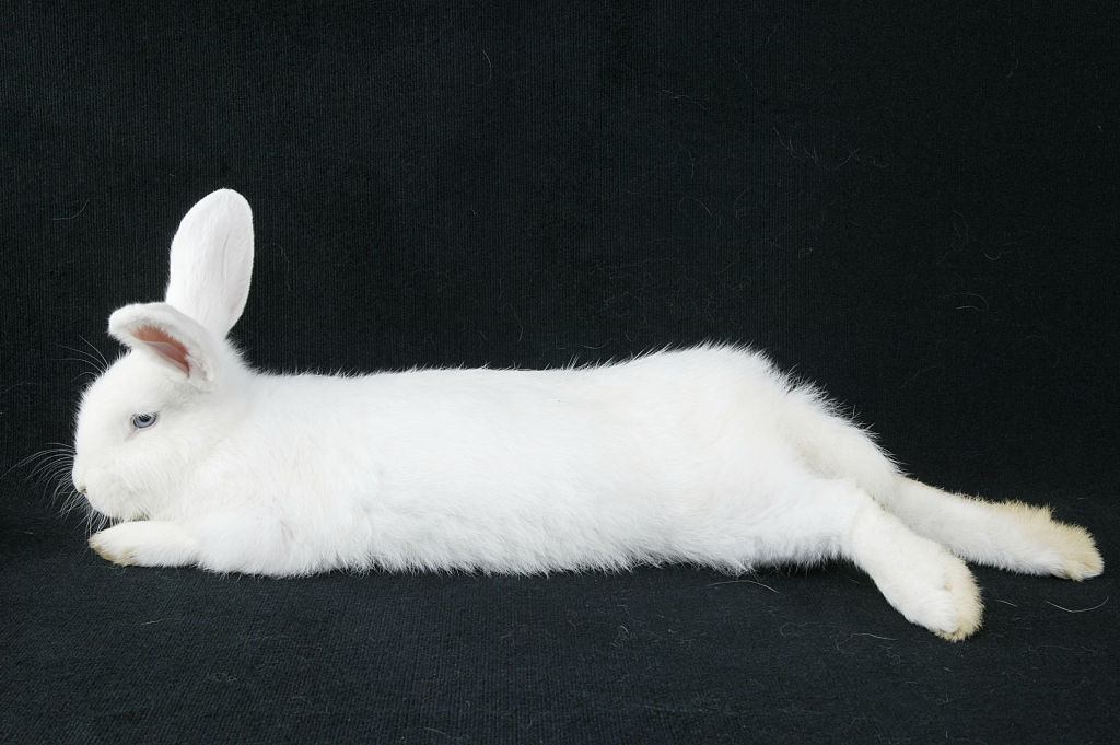 Rabbit laying down
