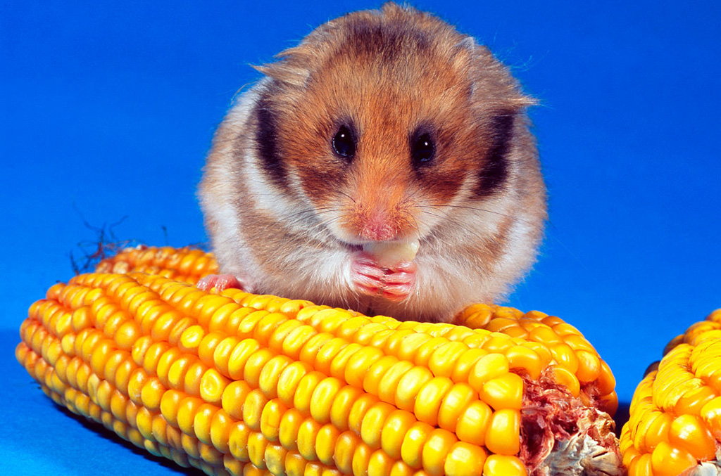 Hamster chewing on corn