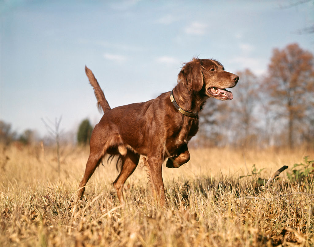 Irish Setters Are All Play And No Bark