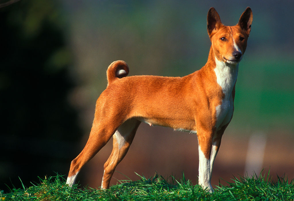 Basenjis Literally Don't Know How To Bark