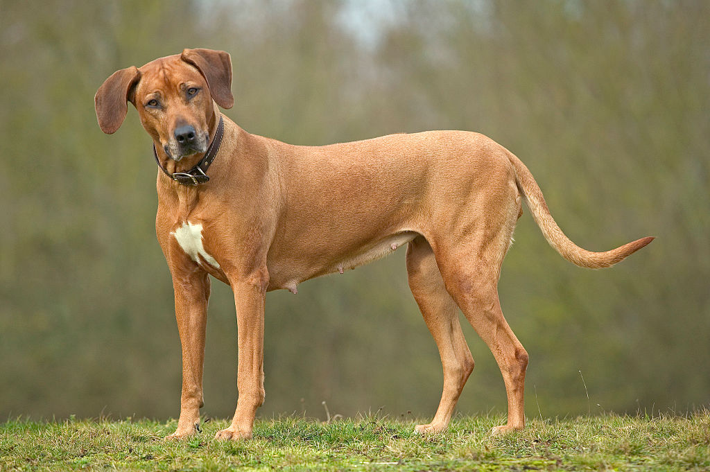 Rhodesian Ridgebacks Make Moves Before Talking