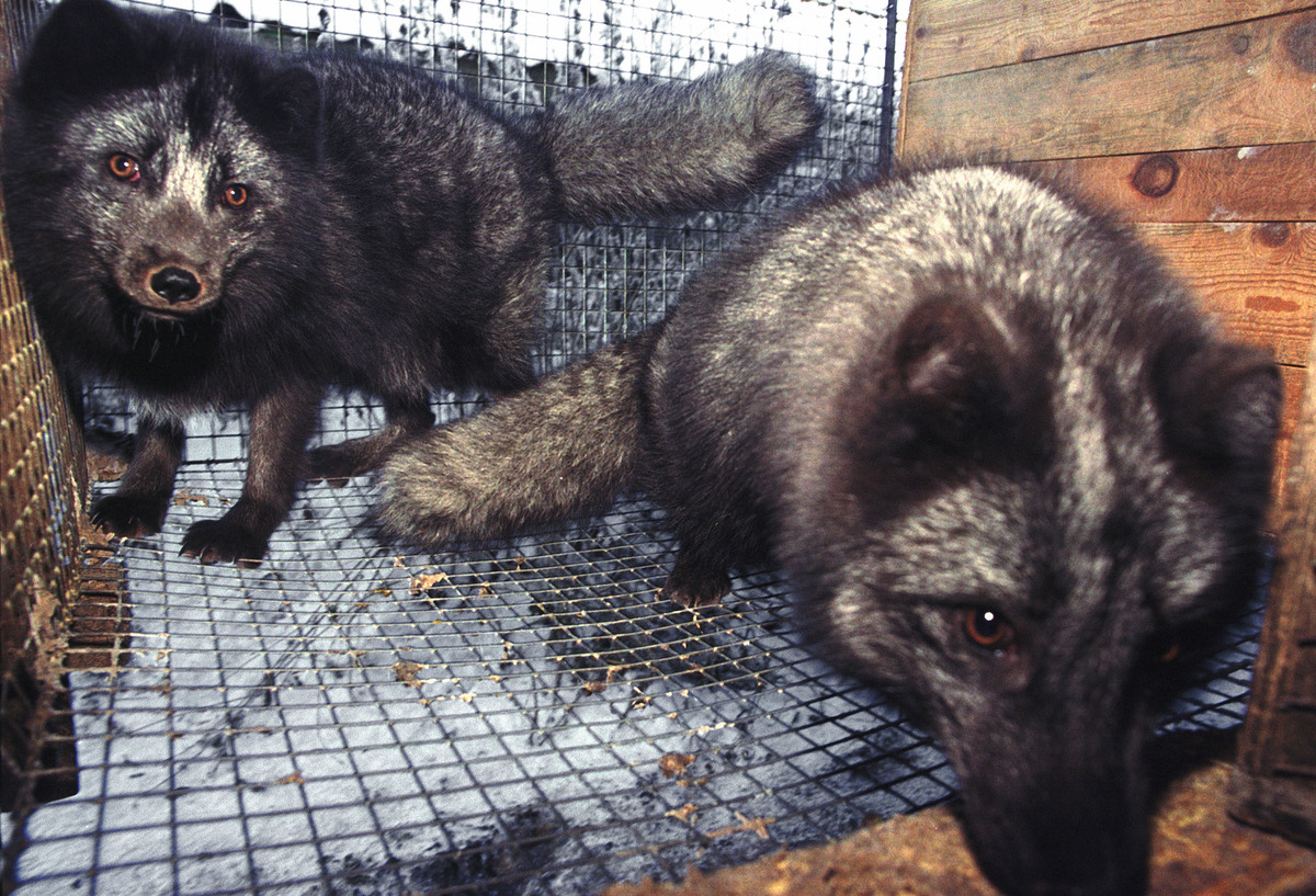 Two Arctic foxes are kept in cages before being taken to be skinned for their fur.