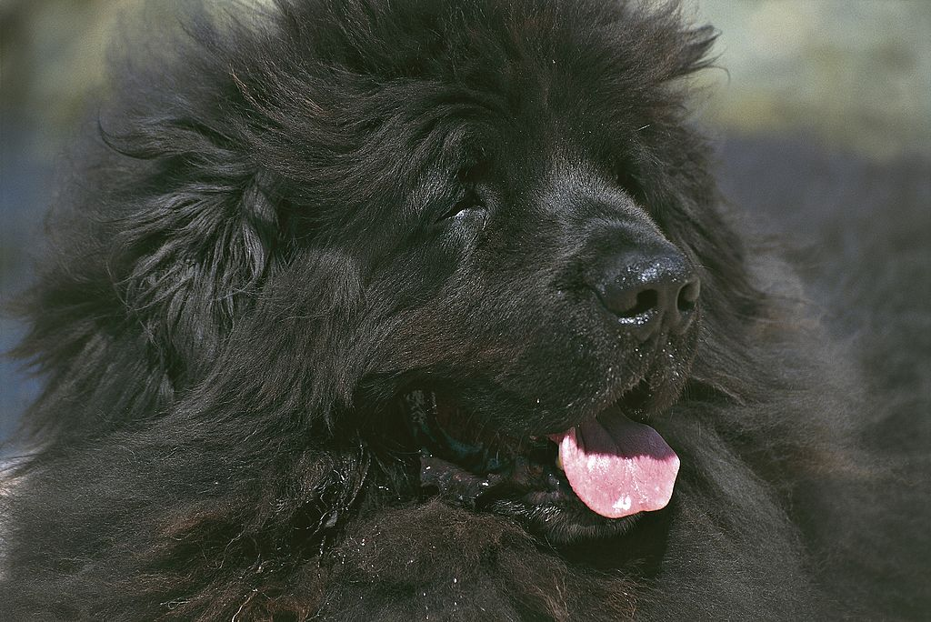 Newfoundland Dogs Are Big Teddy Bears