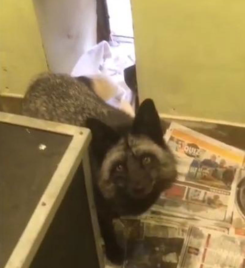 The RSPCA recorded a video of the black fox, Shadow, in their care.