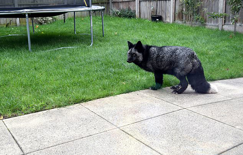 A mysterious black animal walks in yard