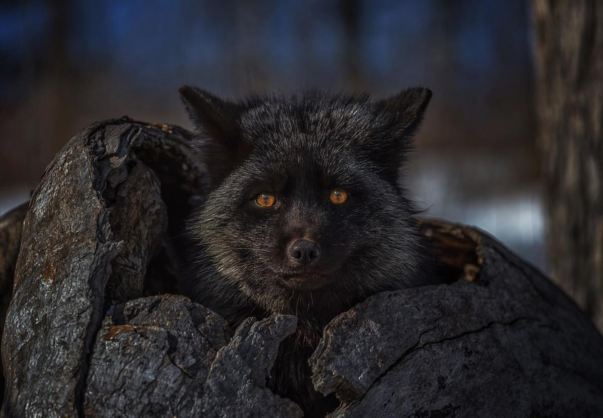 A black animal sits in an empty tree trunk at dusk.