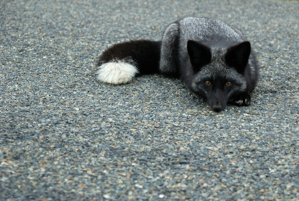 A black fox lies down on gravel.