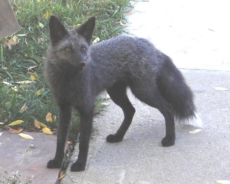 A wild black fox stands near a suburban doorstep.