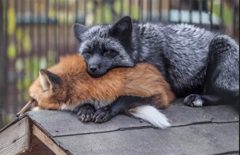 A black fox rests with its head on a sleeping red fox.