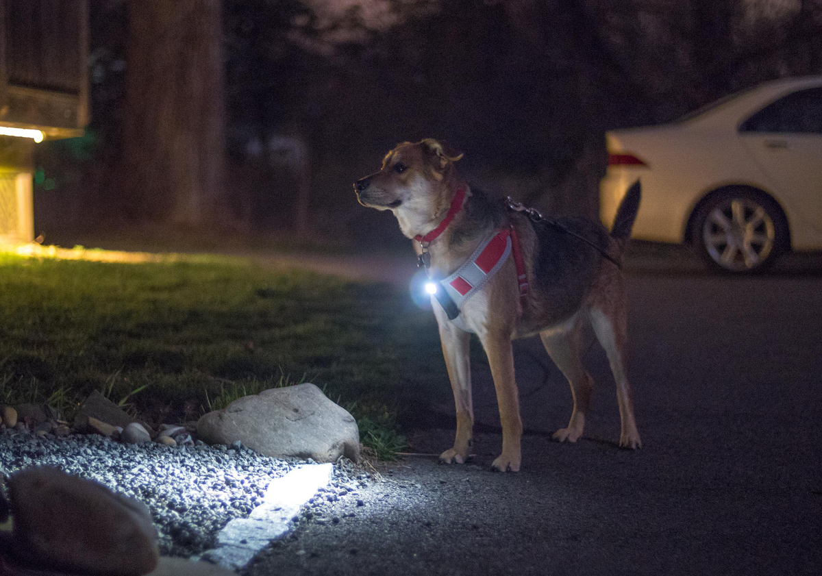 A lit HO3 is attached to a dog harness at night.