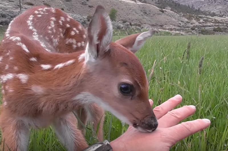 A fawn sniffs a man's hand.
